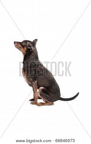 Chihuahua Dog Sitting On White