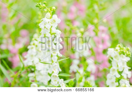 Antirrhinum Majus Or Snapdragons Or Dragon Flowers