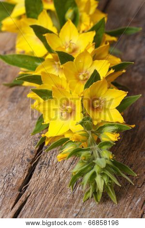 Lysimachia Punctata Yellow Flowers Close Up Vertical