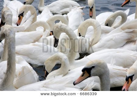 Bevy Of Swans
