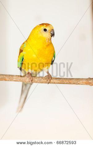 Red-rumped Parrot (psephotus Haematonotus)