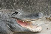 Close Up View of an American Alligators mouth poster