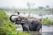 Elephant taking a bath in the river of Chitwan national park Nepal poster
