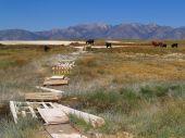 Cattle grazing on the vast landscape of the Great Basin Desert taken near Mammoth, CA on August 15, 2006 poster