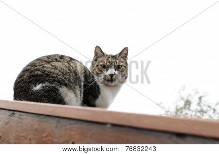 Cat-red-roof