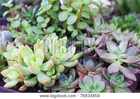 Large rose of a succulent plant