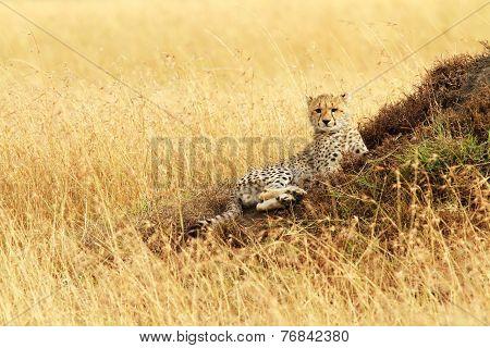 Masai Mara Cheetah Cub