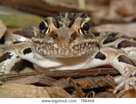 frog front
