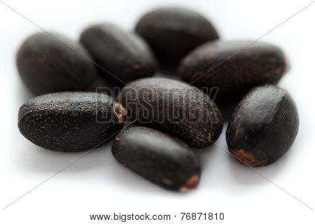 Jatropha curcas seed