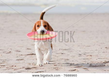 Beagle Puppy Playing
