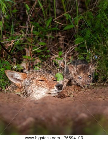 Coyote (canis Latrans) And Pup Peek Out Of Den