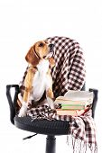 Beagle dog on chair with plaid isolated on white poster
