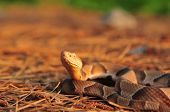 Portrait of a mature Southern Copperhead photographed in the Piney Woods of East Texas in its natural habitat. poster