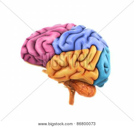 Human Brain Anatomy