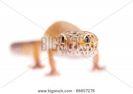 Leopard Gecko On A White Background