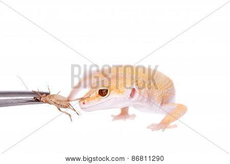 Albino Leopard Gecko On A White Background