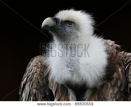 vulture portrait.