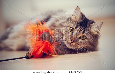 The fluffy striped domestic cat plays with a toy. poster