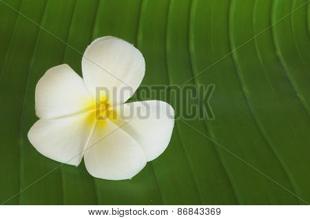 Closed-up White Yellow Plumeria Flower on the Banana Leaf