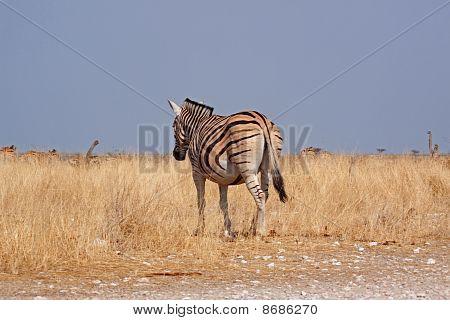 Plains Zebra (equus Quagga, Formerly Equus Burchelli)