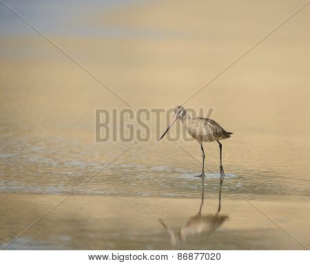 Marbled godwit wades in surf in golden light of afternoon on California coast poster