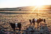 Belted Galloway Cows stood in a field poster