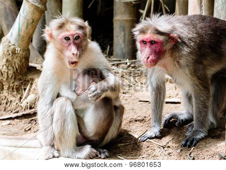 A monkey family - the mother, father and their child