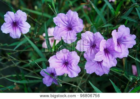 Purple Flowers Or Ruellia Tuberosa Linn, Waterkanon, Watrakanu, Minnieroot, Iron Root, Feverroot, Po