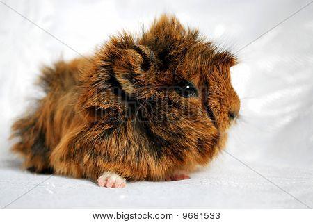Guinea pig kid