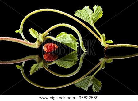 Strawberry Sprouts On Black Reflective Plane