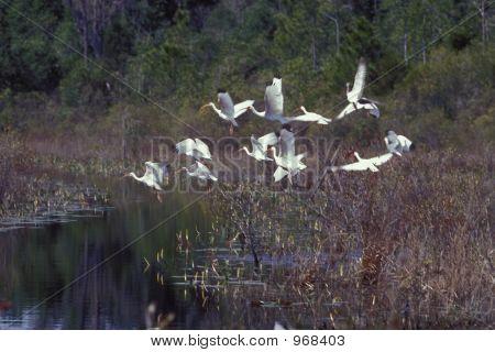 White Ibises