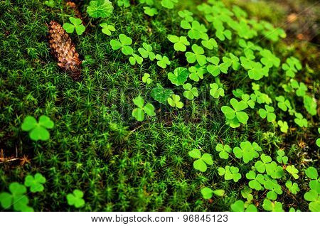 Close-up of green clovers moss sphagnum and pine cone poster