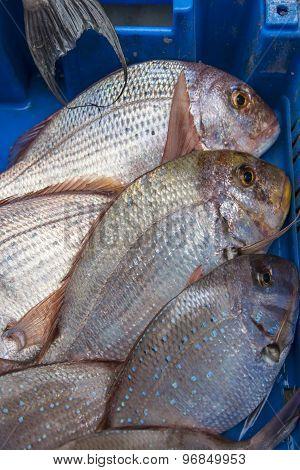 Fresh raw fish common pandora in the market
