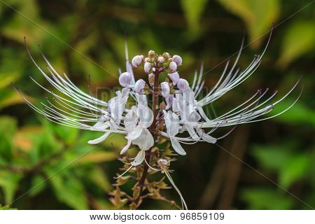 Cat's whiskers flowers or  Orthosiphon stamineus, in the garden poster