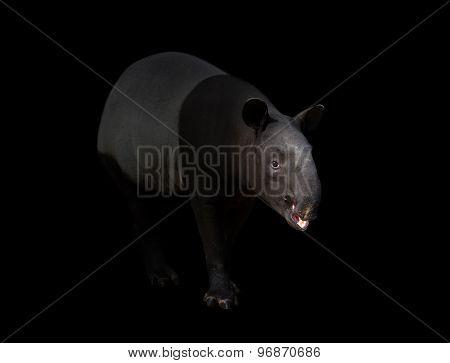 Malayan Tapir Or Asian Tapir In The Dark