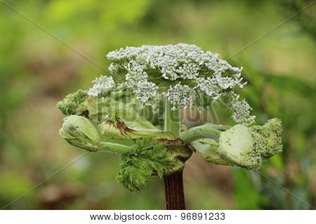 Giant Hogweed Umbel