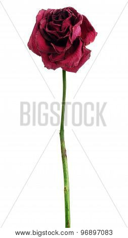 Dead dried red rose