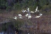 photo of a flock of white ibises on the wing in the okefenokee swamp in southern ga. poster