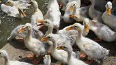 Group of fluffy ducklings quacking near water poster