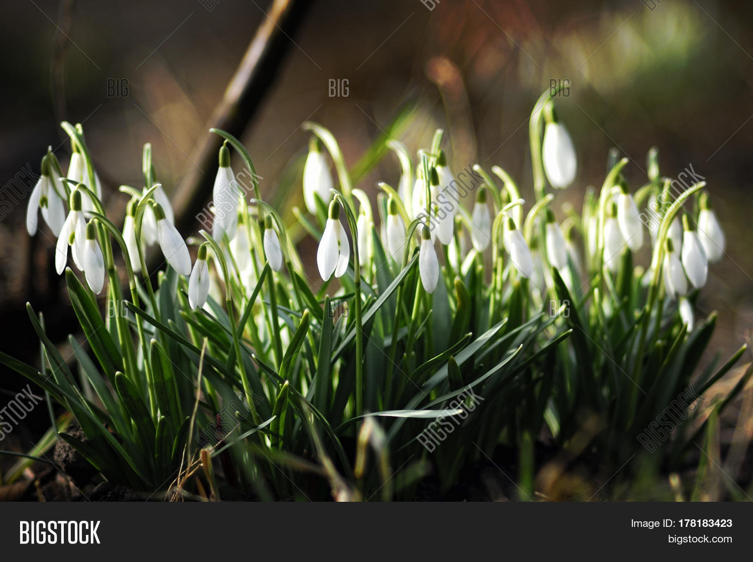 Earliest spring image photo free trial bigstock the earliest spring flowers snowdrops sweethearted nature mightylinksfo