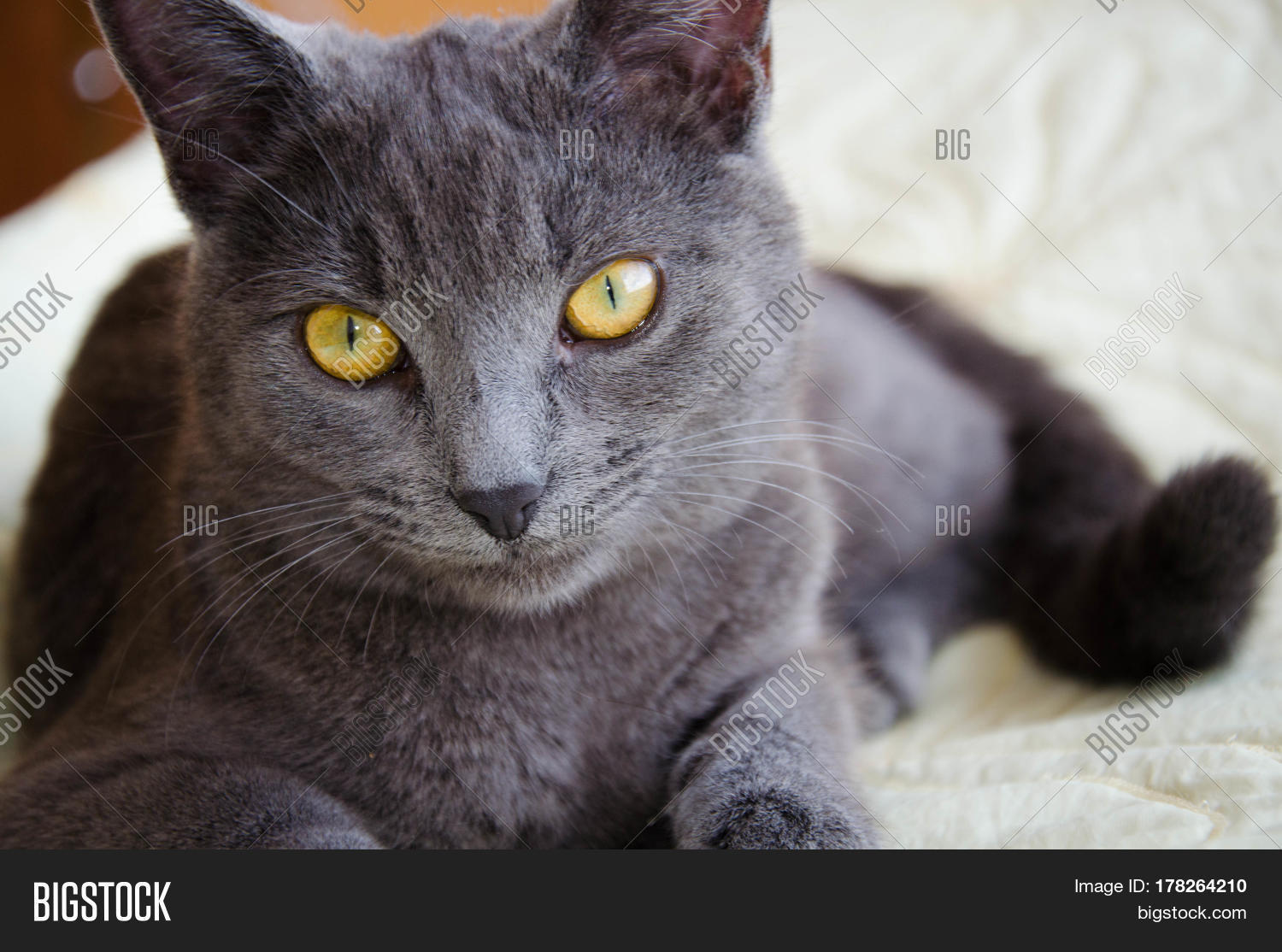 Russian Blue Breed Cat Image & Photo (Free Trial) | Bigstock