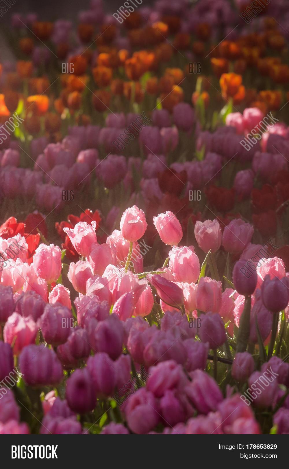 Idyllic Field Pink Image Photo Free Trial Bigstock