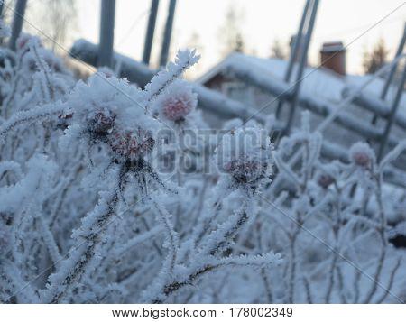 frozen rose hips in wintery landscape in sweden