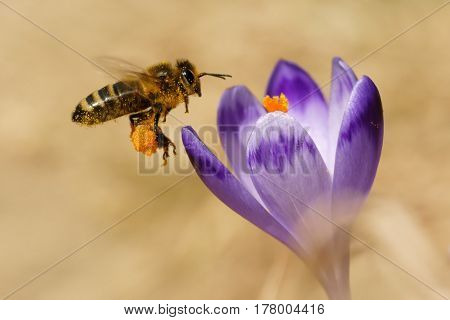 Honeybees (Apis mellifera) bees flying over the crocuses in the spring on a mountain meadow in the Tatra Mountains Poland