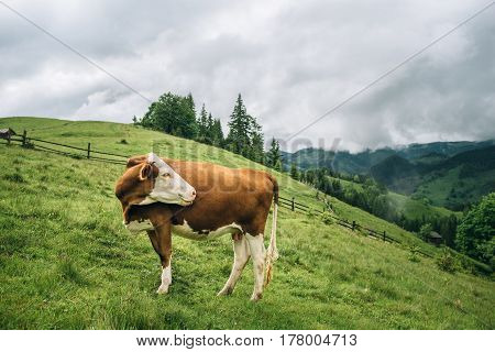 Brown cow at a mountain flank on a pasture in summer. Cow on a green grass in a mountain village.