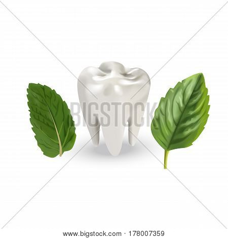 Human tooth with leaves. Vector illustration of realistic chewing tooth and mint leaves on white background.