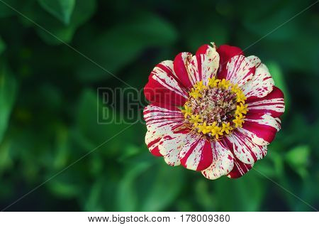 Single white and red striped zinnia flower in the vibrant garden on a warm summer evening against a lush green blurred background
