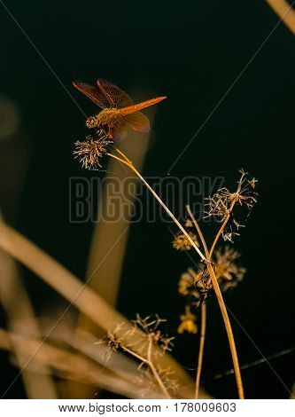 A red Dragonfly perched on lakeside fauna seed pods, early morning light with dark background.