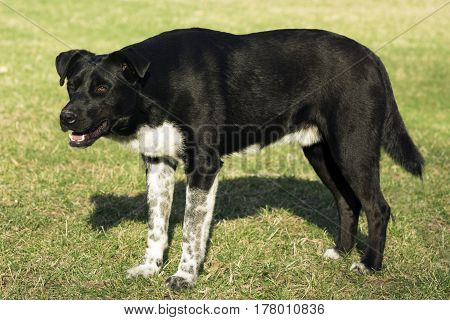Big black dog is standing on the grass.
