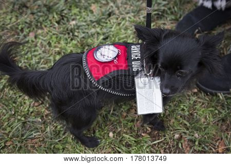 45th Presidential Inauguration, Donald Trump: Cookie, a small black service dog with her owner, WASHINGTON DC - JAN 20 2017